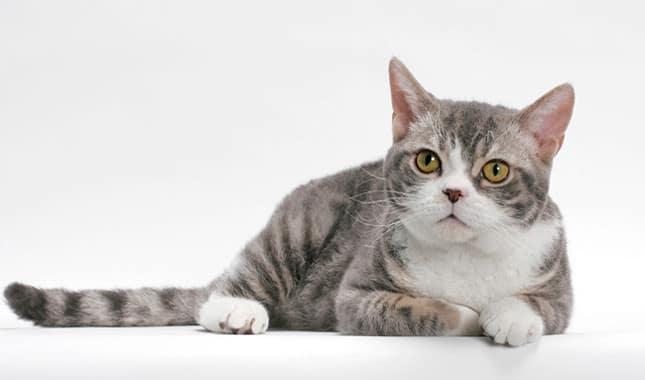 cat breed list