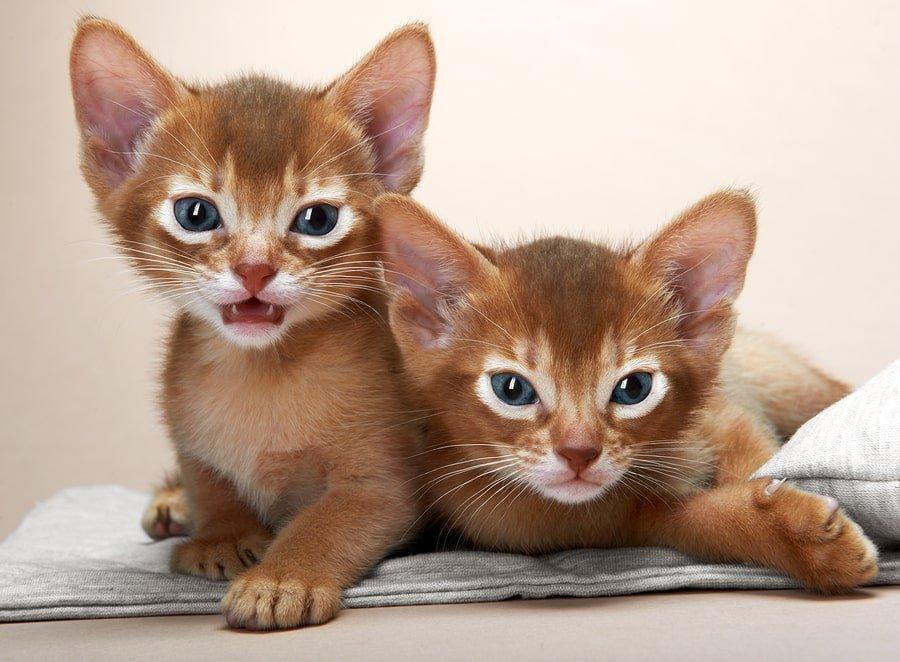 abyssinian orange kittens