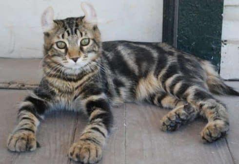 Highlander Cat info