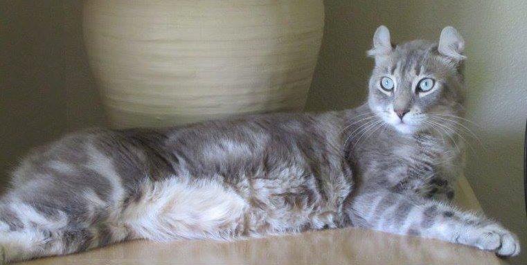 Highlander Cat breed info