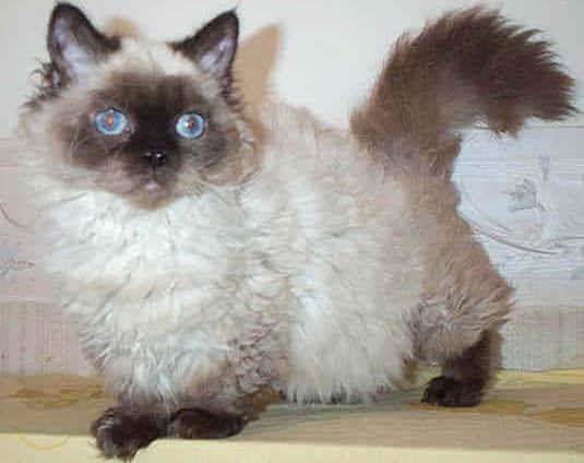 lambkin dwarf cat info