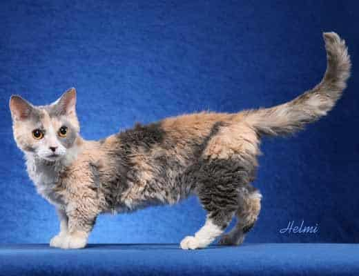 Lambkin dwarf Cat breed