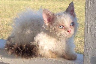 lambkin dwarf cats