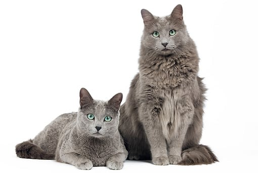 nebelung grey cats