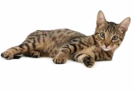 serengeti cat personality