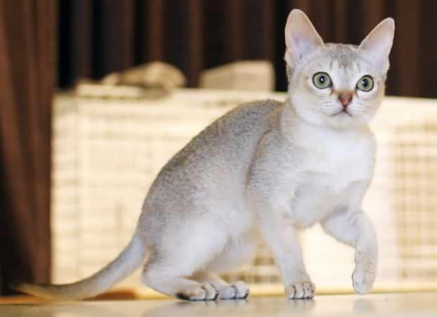 singapura cat info