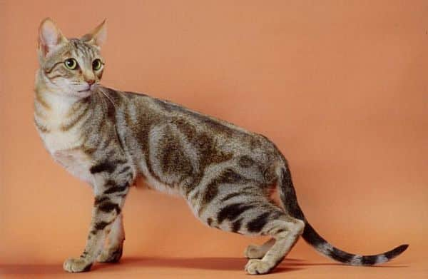 Sokoke Cat breed info