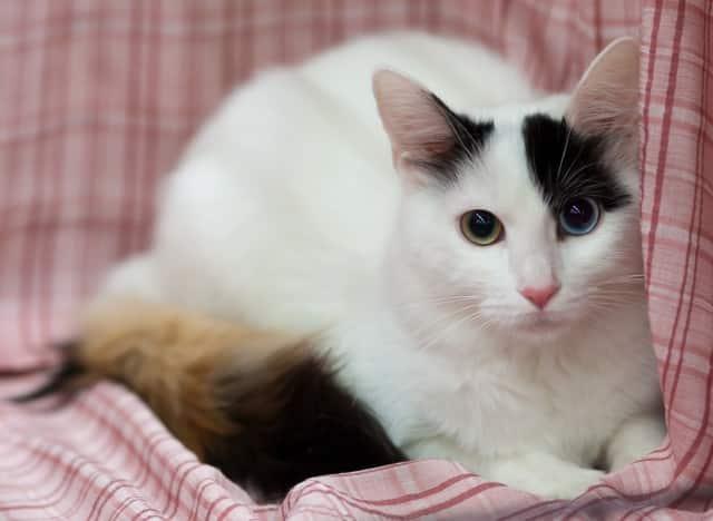 turkish van cat breed