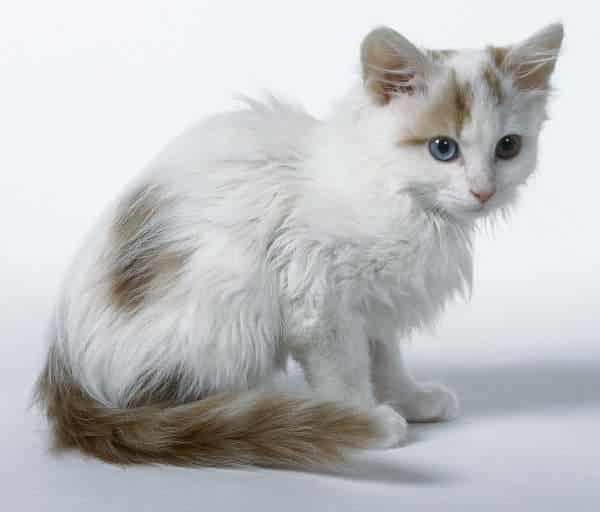 turkish van cat breeds