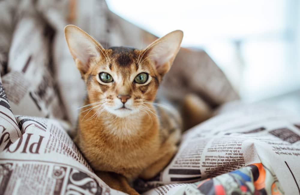 abyssinian orange cat