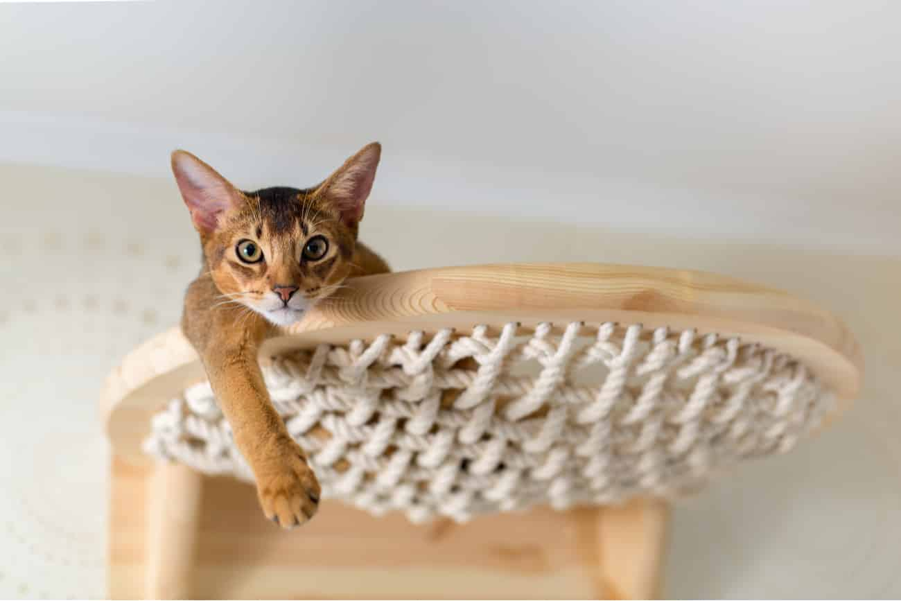 Abyssinian orange cat laying down