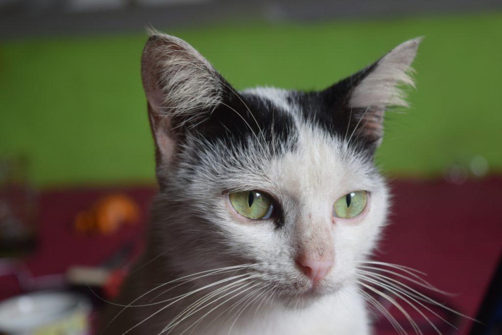 Balinese and Javanese Cat