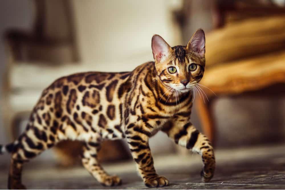 Bengal orange cat