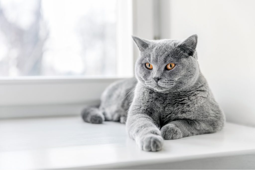 British Shorthair Cat on window sill