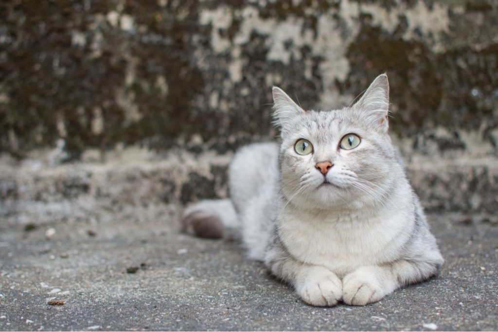 Burmilla Cat