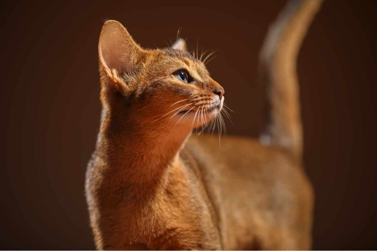 Chausie orange cat