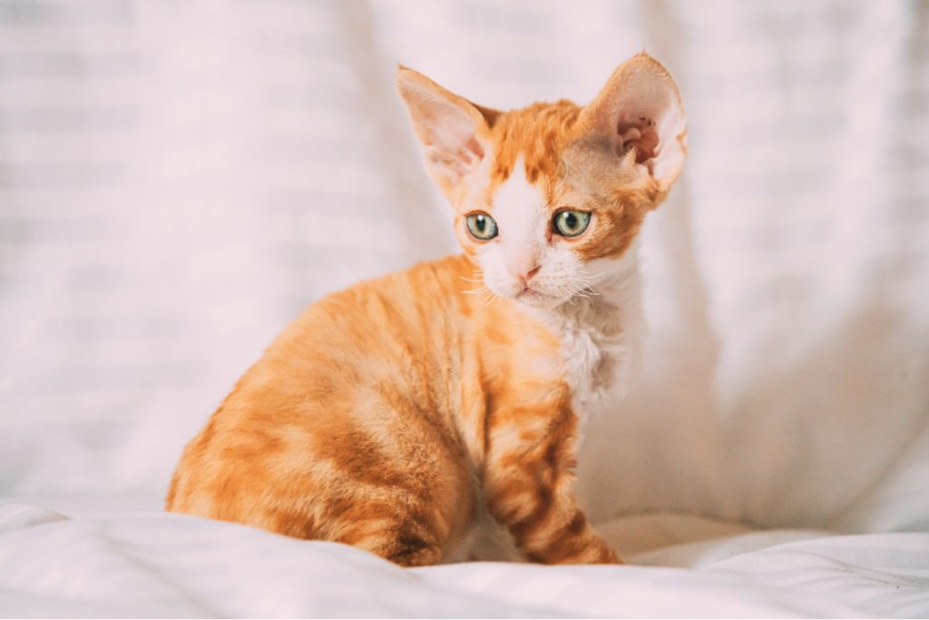 Devon Rex orange kitten