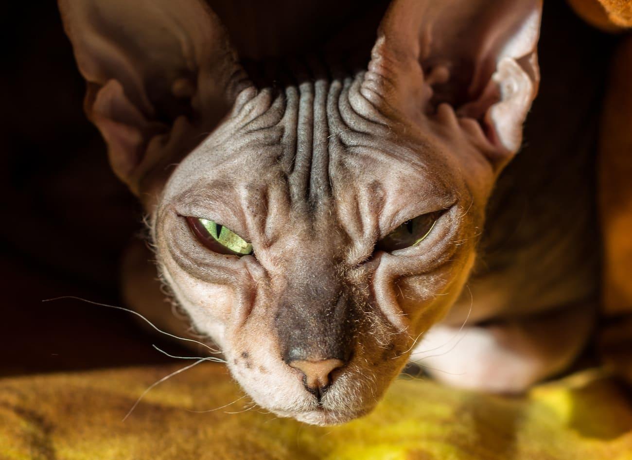 Donskoy cat staring
