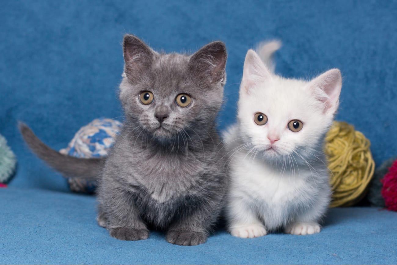 Dwarf cat breeds