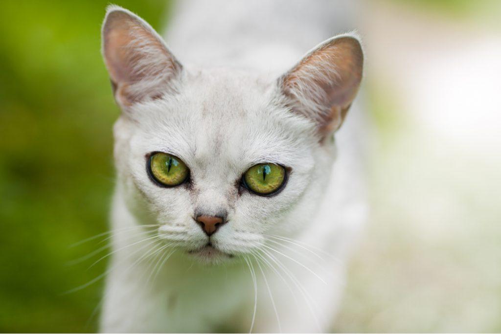 Burmilla cat