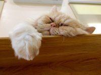 Flat faced cat sleeping