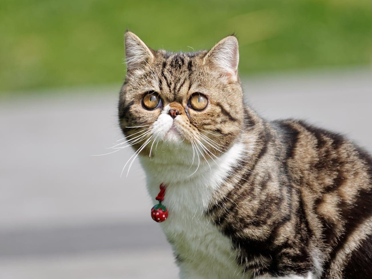 Exotic shorthair flat face cat