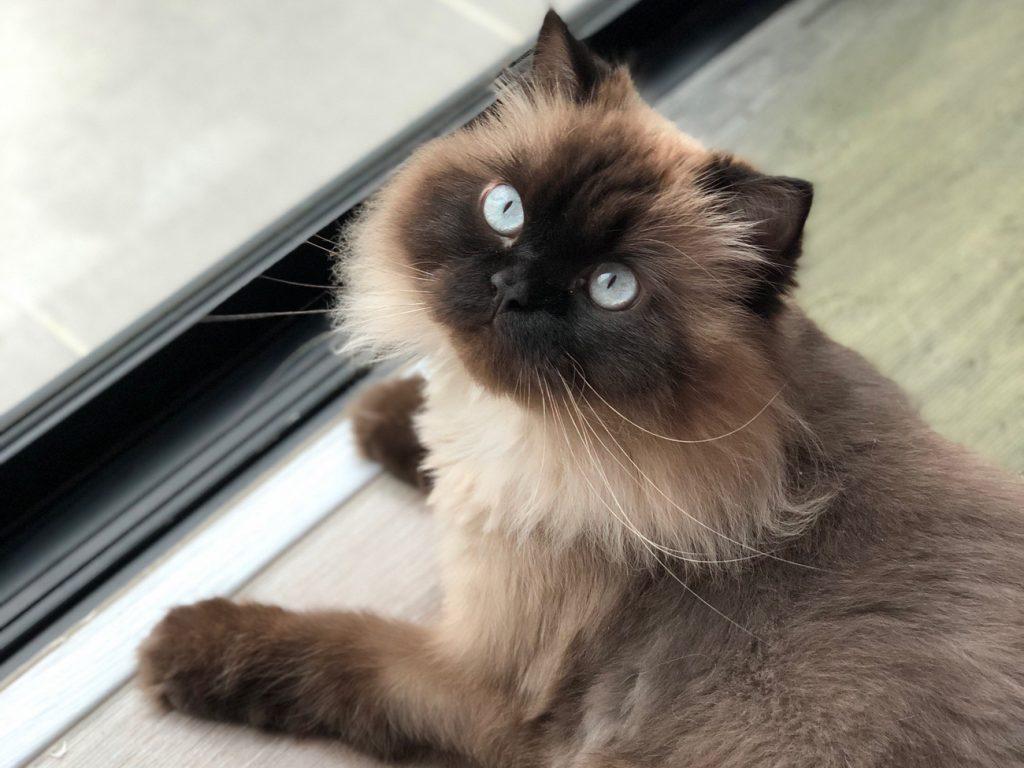 Himalayan flat face cat