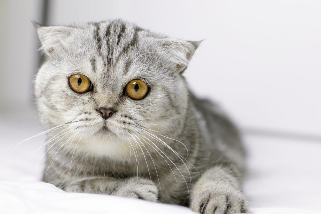 Scottish fold flat face cat