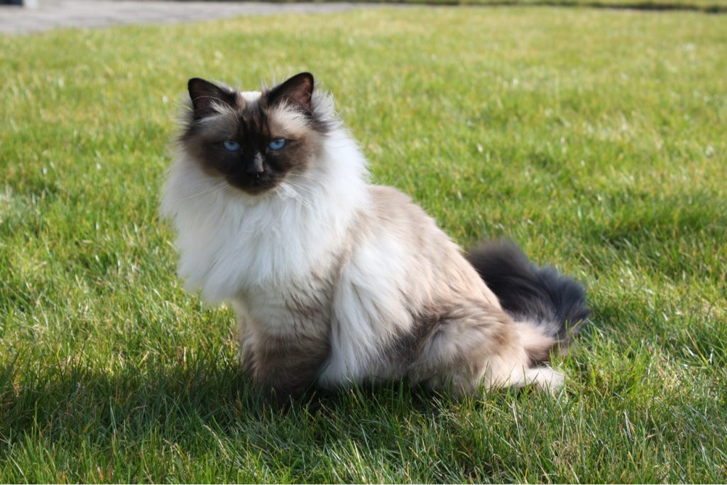 Cat breed Birman sitting on grass