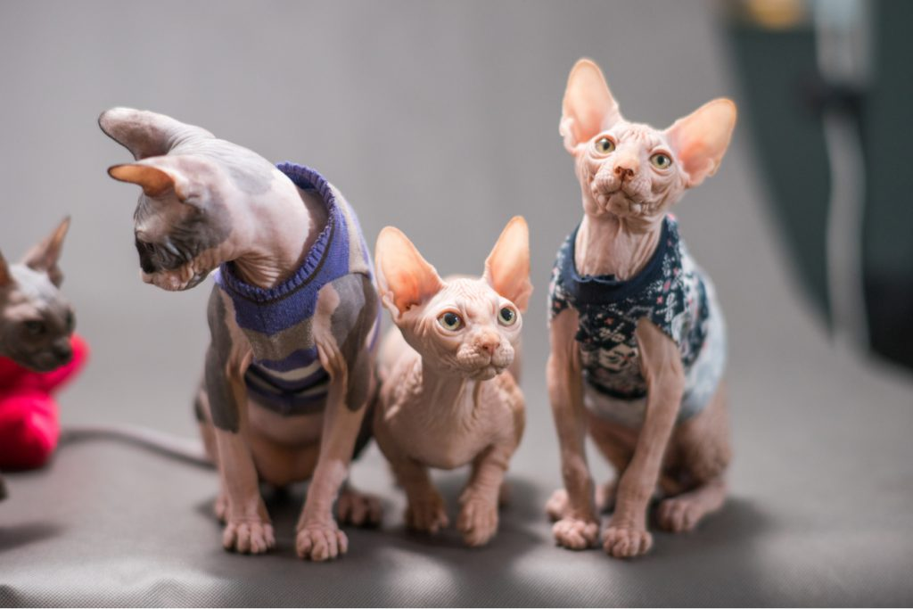 Hairless sphynx cats