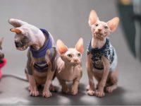Hairless sphynx cats