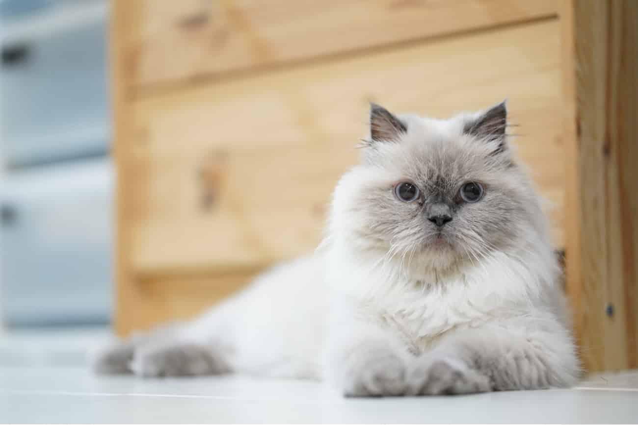 Himalayan cat laying down