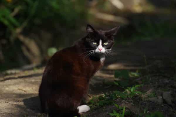 Japanese Bobtail Cat • Purrfect Cat Breeds