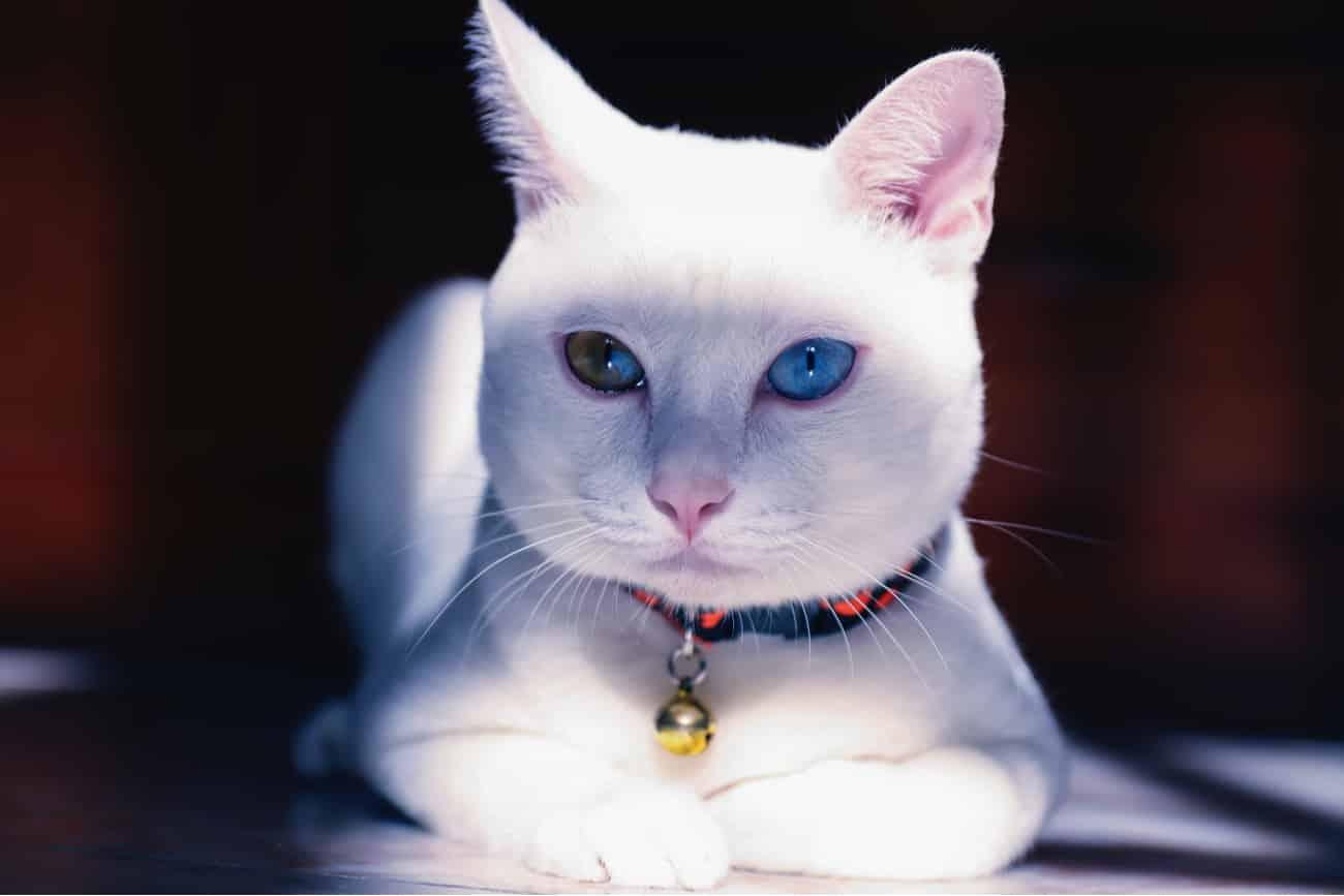 Khao Manee Cat Sitting