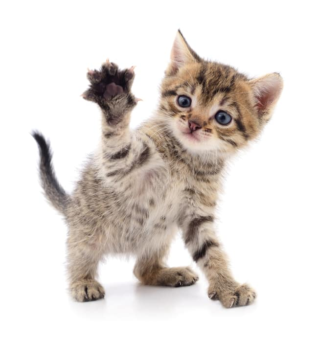 Kitten waving paw
