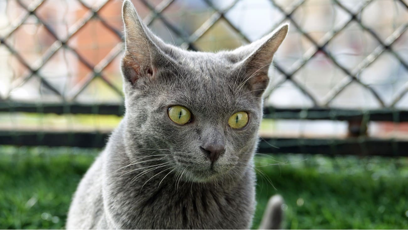 Korat cat staring ahead