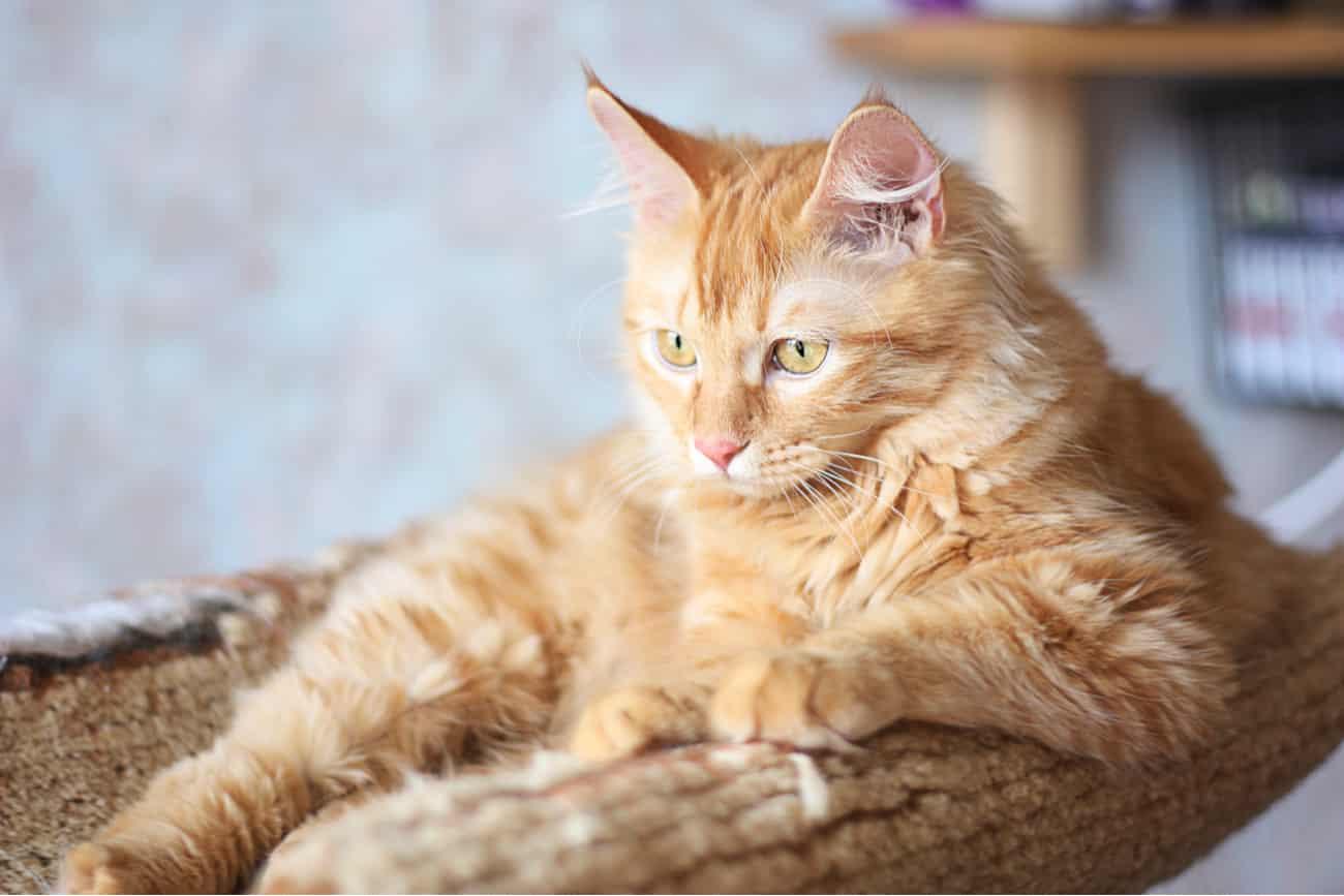 Kurilian cat