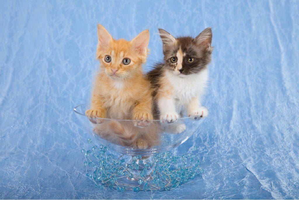 La perm cats
