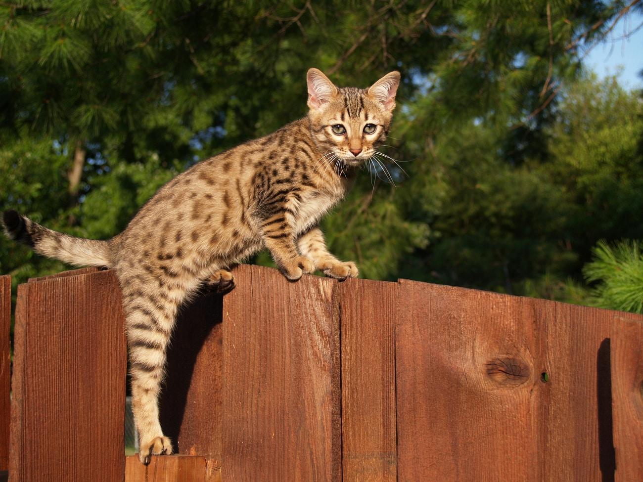 Savannah cat on fence