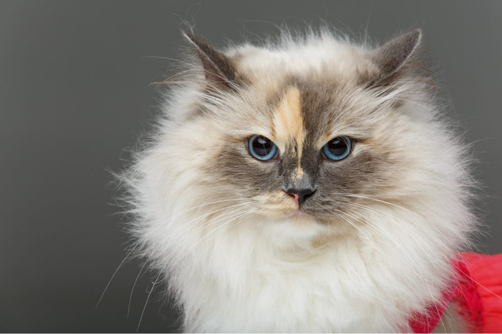 Birman long haired cat