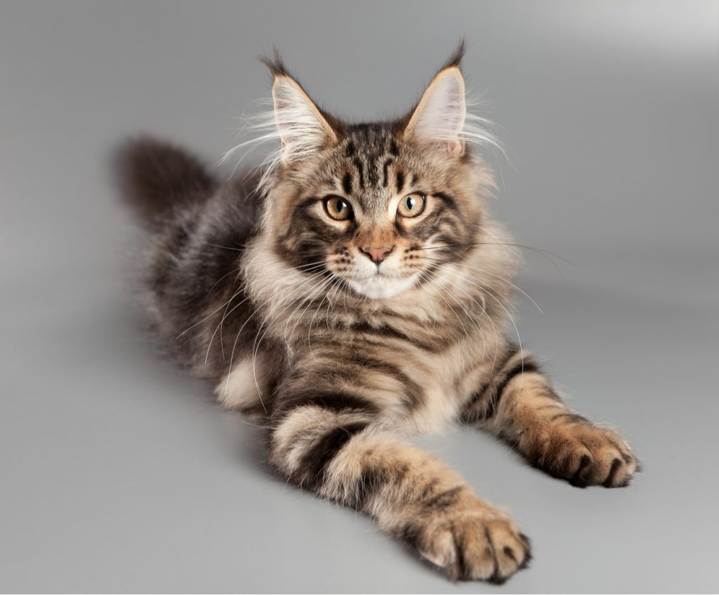 Maine coon cat laying