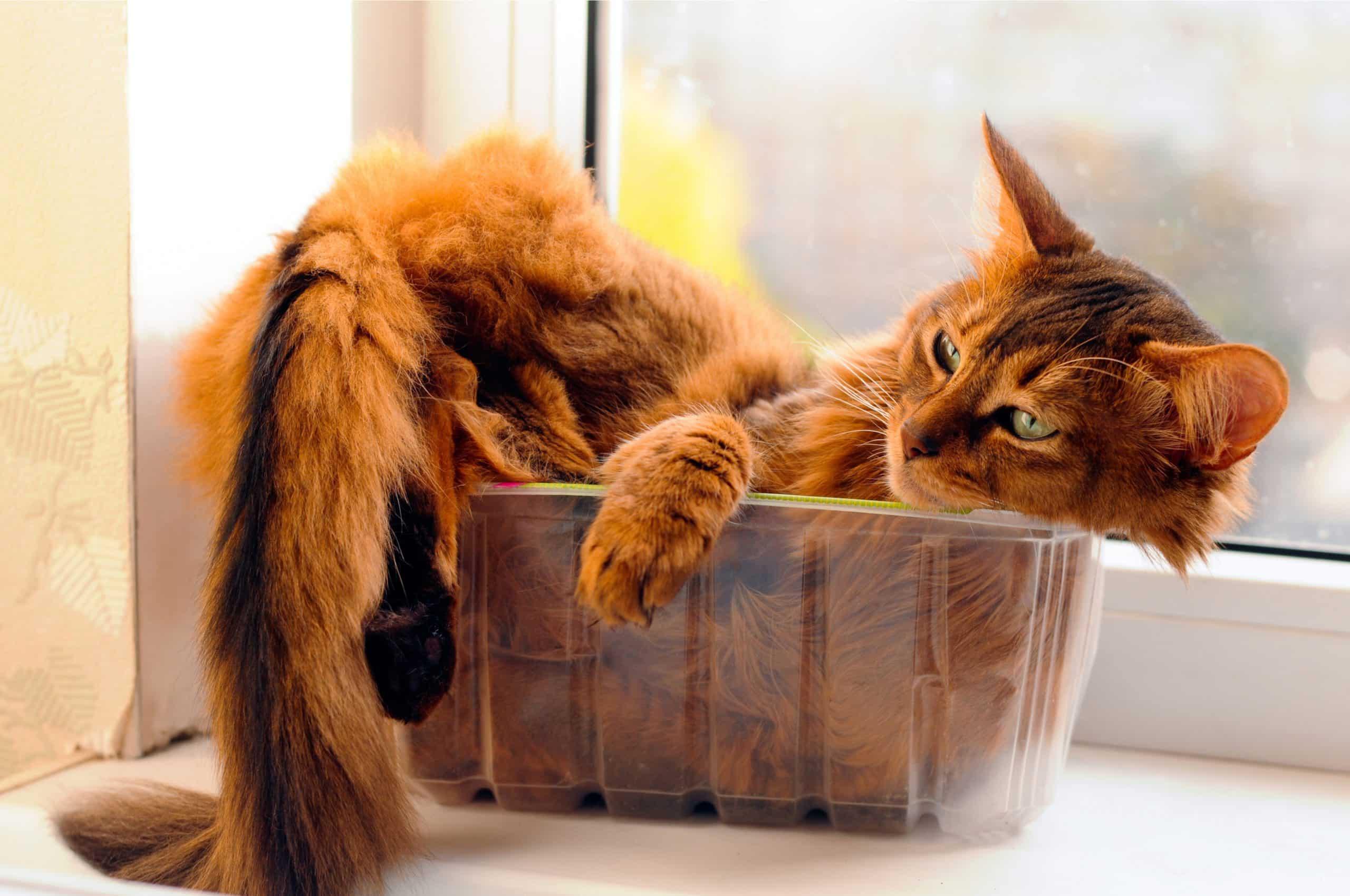 Somali cat sleeping