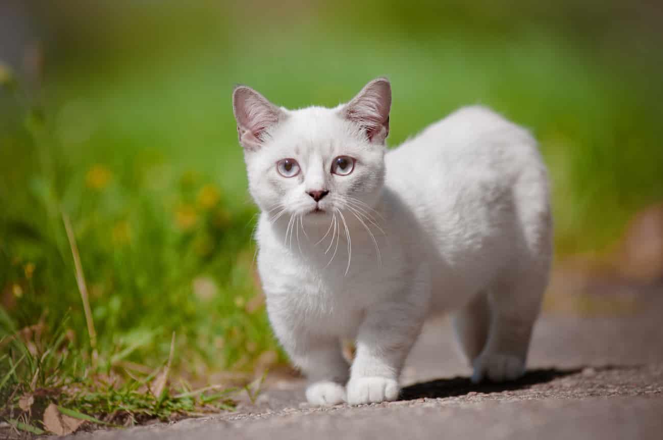 Munchkin cat walking