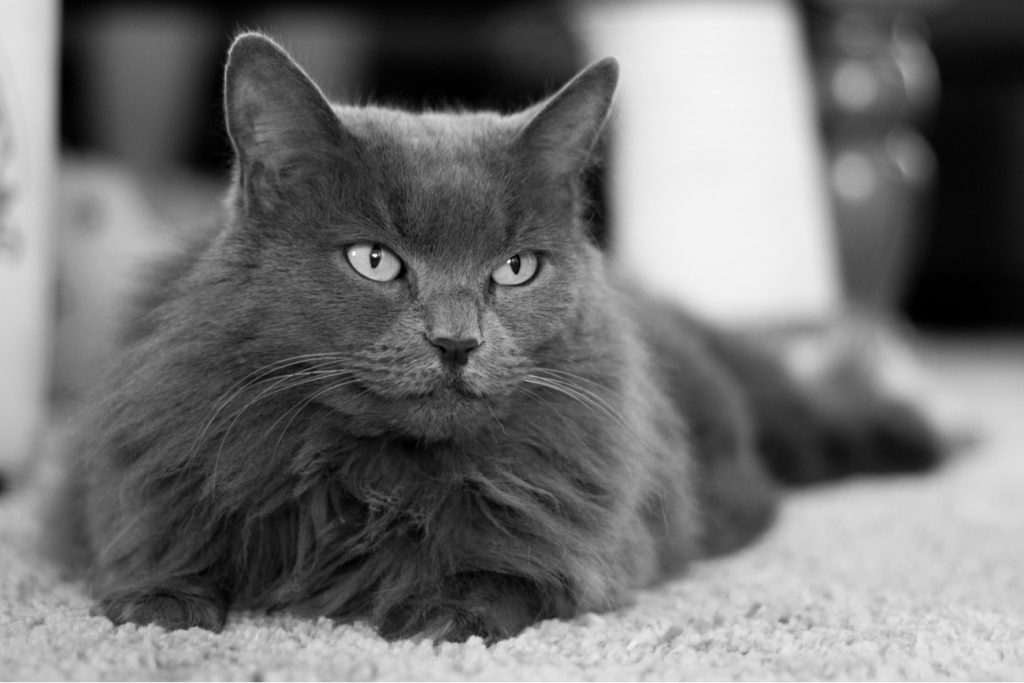 Nebelung cat laying down