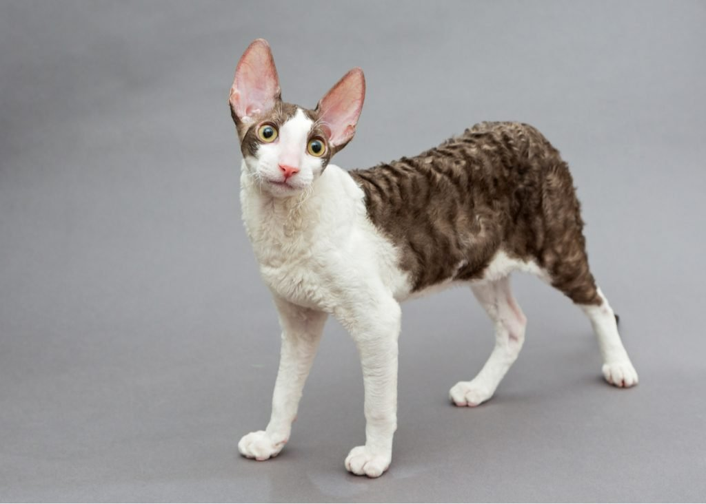 Cornish rex standing
