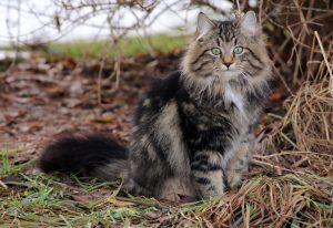 Norwegian Forest Cat hunting