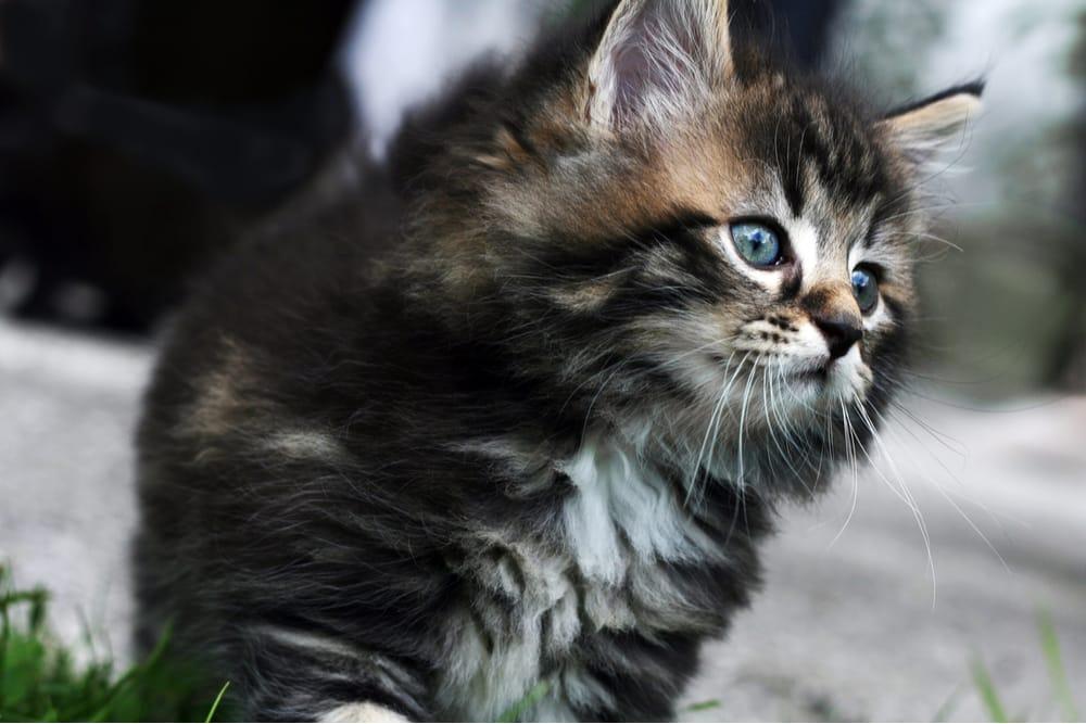Norwegian Forest Kitten