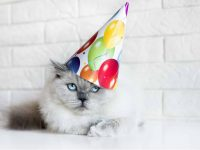 Old cat with birthday hat