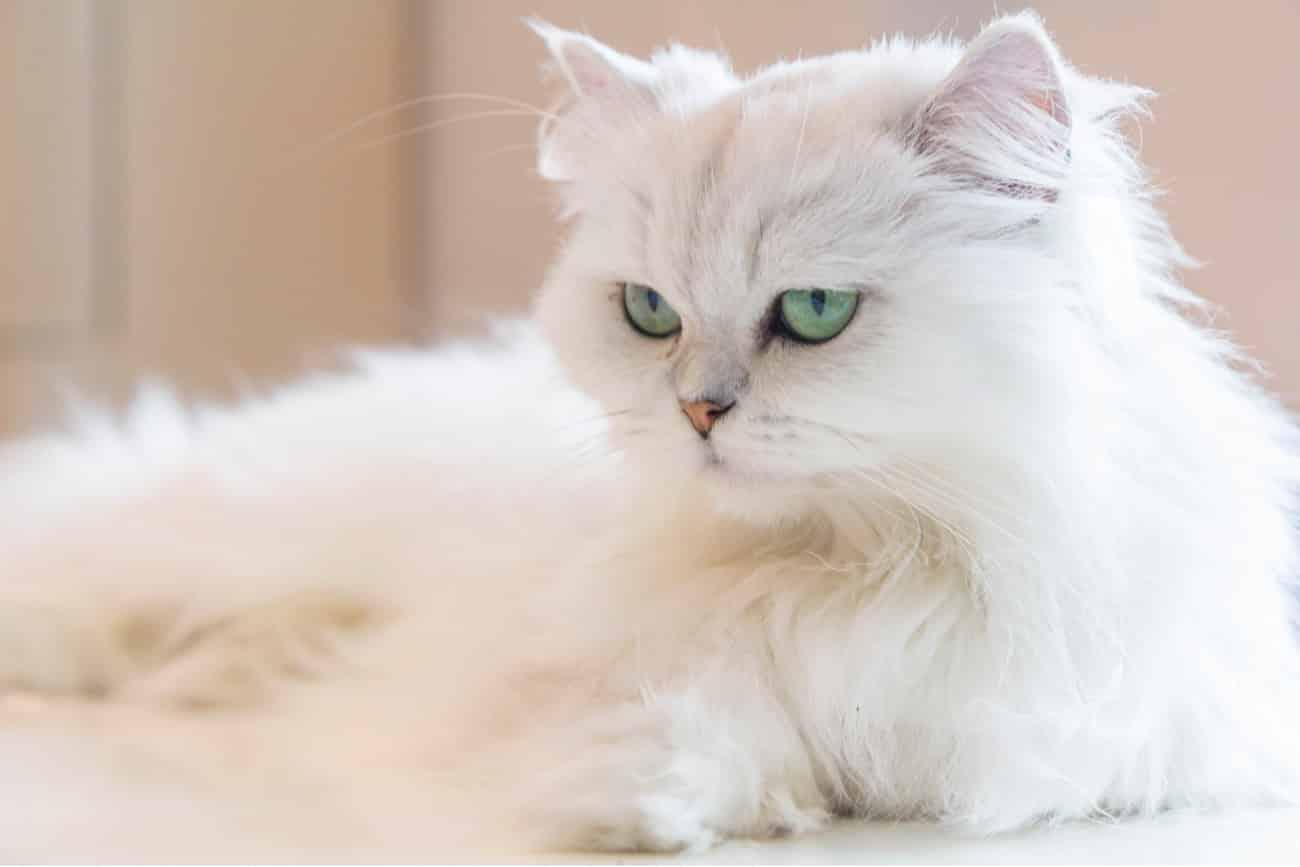Persian cat white
