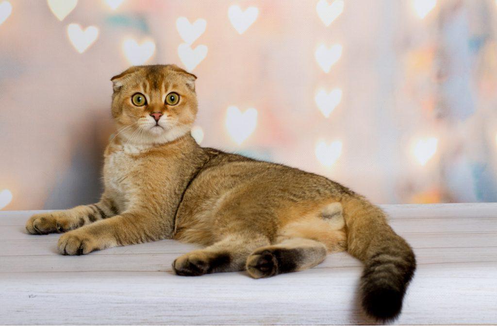 Scottish fold orange cat
